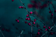Close-up of red berries growing on a tree - INGF10998