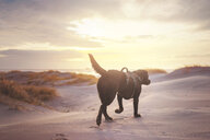 A dog walking across the sand during sunset - INGF11046