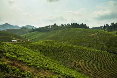 Africa, Tea plantation in the mountains of southern Uganda - RUNF00465