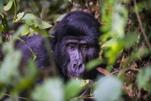 Africa, Uganda, Mountain gorilla, Gorilla beringei beringei, in the Bwindi Impenetrable National Park - RUNF00474