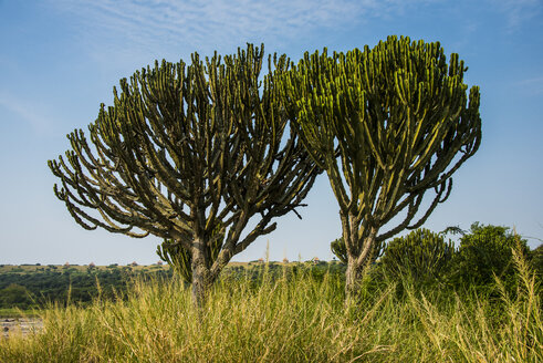 Africa, Uganda, Cactus tree at a crater lake in the Queen Elizabeth National Park - RUNF00498