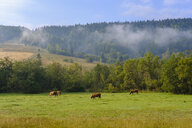 Montenegro, Rozaje, cows on meadow - SIEF08252