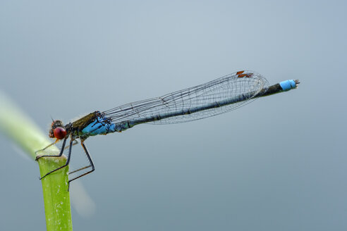 Male red-eyed damselfly in front of blue background - SIEF08257