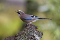 Eurasian jay on deadwood - MJOF01626
