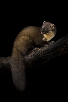 Pine marten on branch against black background - MJOF01632