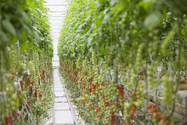 Tomato plants growing in a row in greenhouse - HEROF03372