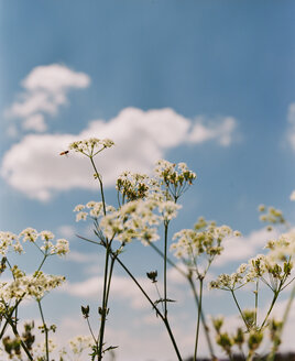 Yarrow in summer - VWF00006