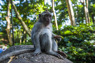 ndonesia, Bali, Sacred Monkey Forest, long tailed macaque eating, Macaca fascicularis - RUNF00567