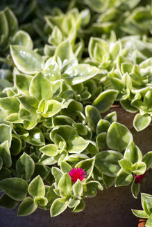Common ice plant growing on terrace - NDF00848