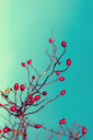 Close-up of berries growing on tree. - INGF11480