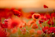 Close-up shot of red poppy flowers in a field out in beautiful nature - INGF11657