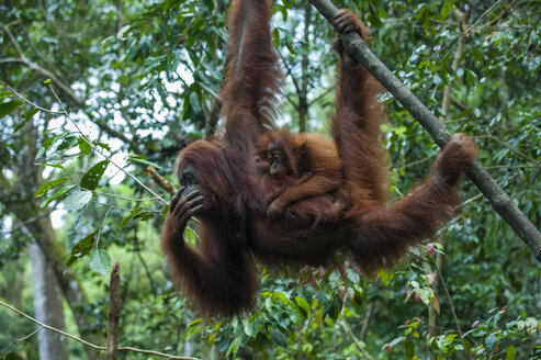 Indonesia, Sumatra, Bukit Lawang Orang Utan Rehabilitation station, mother and baby Sumatran orangutan swinging through the forest - RUNF00601