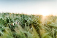 Close-up shot of wheat growing in a field - INGF11754