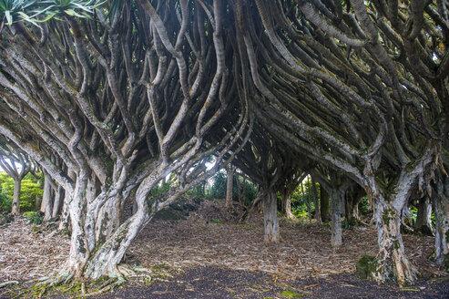 Portugal, Azores, Island of Pico, Wine museum, Dragon trees, Dracaena draco - RUNF00639