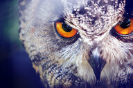 Close-up portrait of an owl - INGF12039