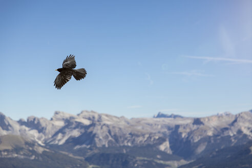 Italy, Dolomites, flying alpine chough, Pyrrhocorax graculus - MMAF00741