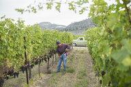 Worker raking working in vineyard among grape vines - HEROF03969