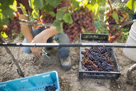 Worker harvesting red grapes from grapevine in vineyard - HEROF03987