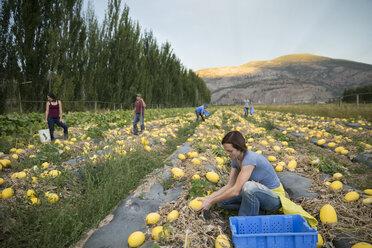 Workers harvesting pumpkin squash crop on farm - HEROF04005