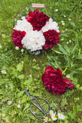 Bunch of red and white peonies in wire basket and scissors on a meadow - GWF05764