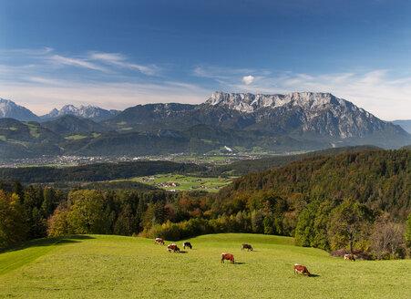 Austria, Salzburg State, Tennengau, view from Krispl to Hallein and Untersberg, cattle - WWF04673