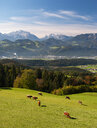 Austria, Salzburg State, Tennengau, view from Krispl to Hallein, cattle - WWF04676