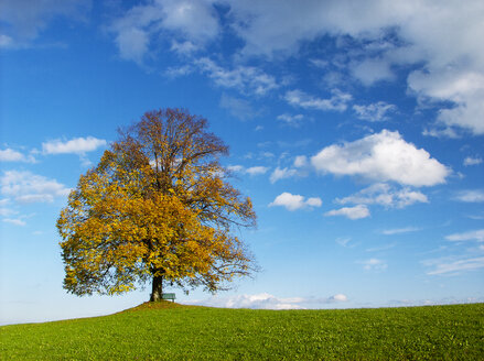Austria, Flachgau, Linden tree on autumnal meadow - WWF04677