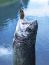 Trout on fishhook - WWF04698