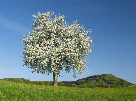 Austria, Salzkammergut, blossoming fruit tree - WWF04712