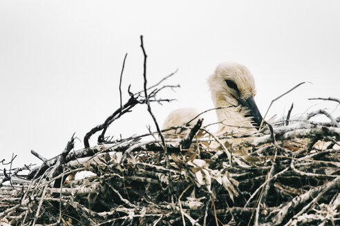 Portugal, Algarve, Young Stork in Nest - JUBF00294