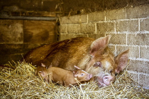 Close up of brown Tamworth sow and piglets lying on straw in barn. - MINF09825