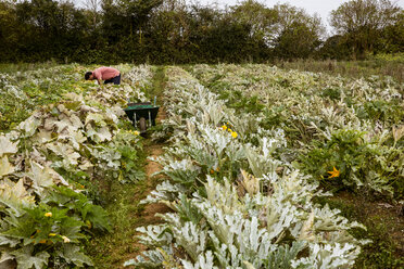 Farmer working in a field, harvesting yellow zucchinis. - MINF09873