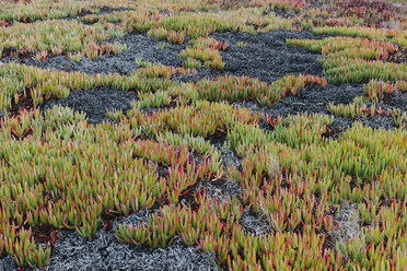 Detail of hillside covered in Iceplant and other shrubs in autumn in a national park in the USA - MINF10044