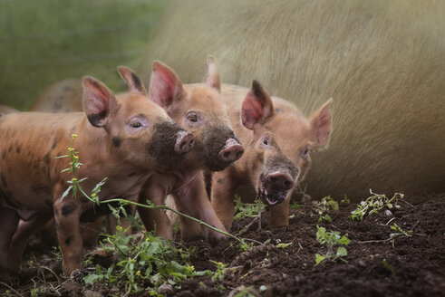 Composite image of three little red piglets with muddy noses - MINF10053