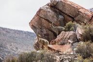 Pair of Klipspringer (Oreotragus) on rocks, Touws River, Western Cape, South Africa - CUF46867