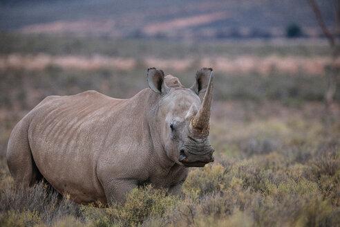 White rhinoceros (Ceratotherium simum), Touws River, Western Cape, South Africa - CUF46876