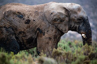 African elephant (Loxodonta), Touws River, Western Cape, South Africa - CUF46879