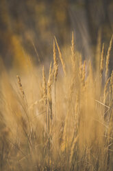 Close-up of grasses in autumn - ASCF00927