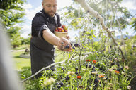 Farm-to-table chef harvesting ripe tomatoes in sunny vegetable garden - HEROF04891