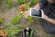 Farm-to-table chef with digital tablet harvesting vegetables in garden - HEROF04894