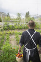 Farm-to-table chef carrying bushel of fresh harvested tomatoes in vegetable garden - HEROF04897