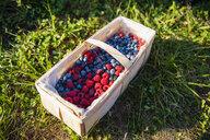 Splint basket of freshly picked berries - DIGF05603