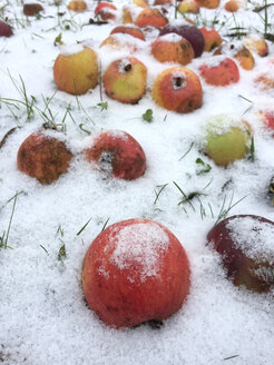 Snow on apples - JTF01160