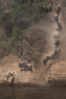 Wildebeest on yearly migration launching across Mara River, Southern Kenya - CUF47088