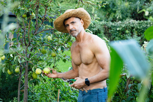 Man picking pears with secateur - CUF47412