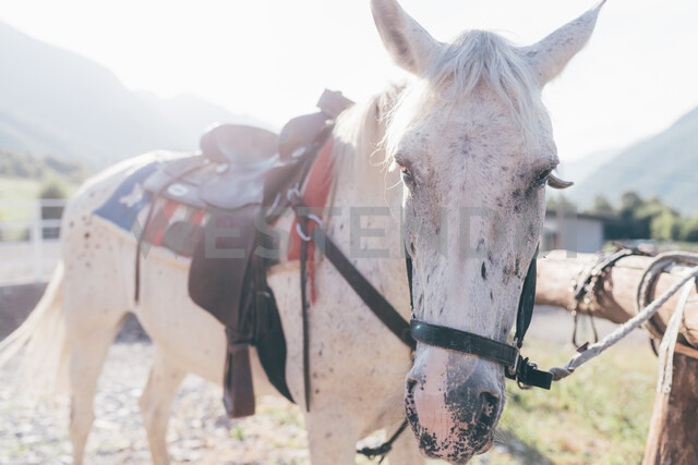 Saddled white horse tied to fence in rural equestrian arena - CUF47496