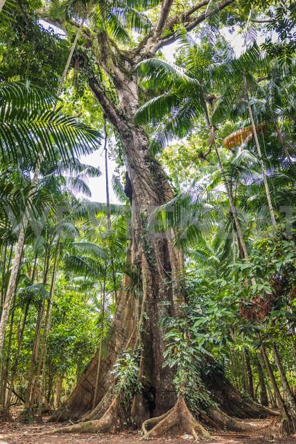 Ceiba pentandra (sumaúma), Ilha do Combu, Amazon, Belem do Pará, Para, Brazil - CUF47634