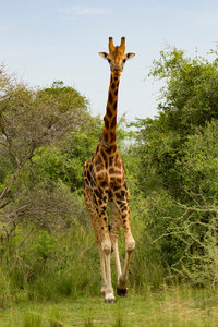 Rothschild's Giraffe (Giraffa camelopardalis rothschildi), Murchison Falls National Park, Uganda - CUF47646