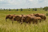 Elephants (Loxodonta africana) in long grass, Murchison Falls National Park, Uganda - CUF47649