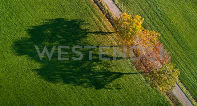 Row of autumn trees and their shadows in field, Netherlands - CUF47939